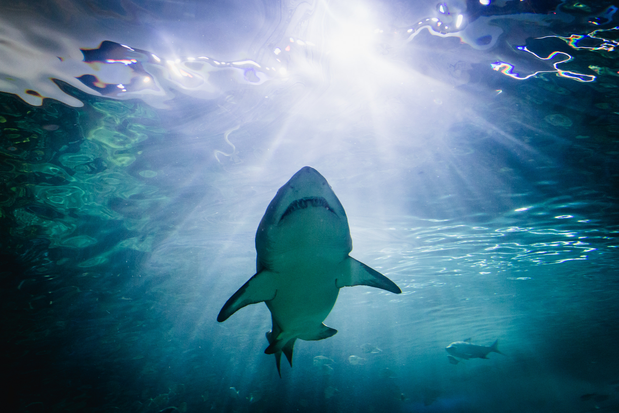 Great white shark at Ripley's Aquarium in Toronto, Canada.